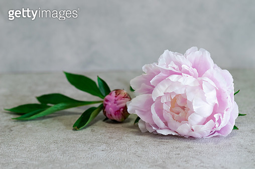 Beautiful pink peony flowers on a rustic gray background - gettyimageskorea