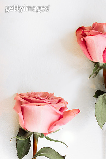 Pink roses on white background - gettyimageskorea