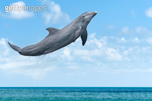 Dolphin Jumping - gettyimageskorea