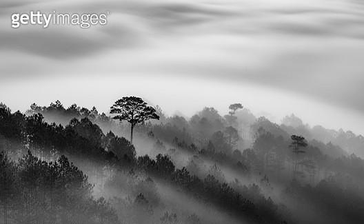 Big tree in Pine forest in mist - gettyimageskorea