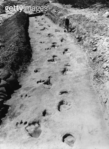 DINOSAUR FOOTPRINTS. /nA paleontologist standing beside fossilized dinosaur footprints. Photograph, mid 20th century. - gettyimageskorea
