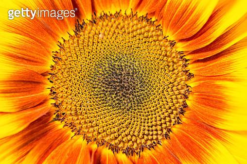 Sunflower - gettyimageskorea