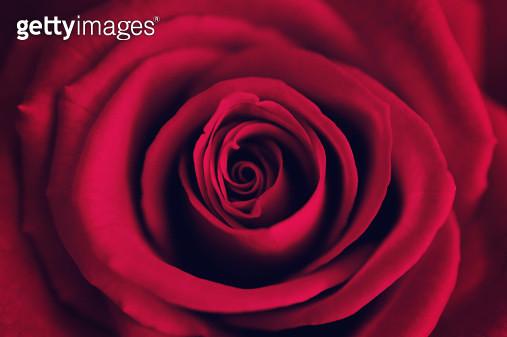 Valentine Rose - gettyimageskorea