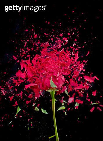 Exploding Red Rose - gettyimageskorea