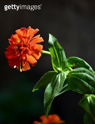 Close-Up Of Red Flowering Plant - gettyimageskorea