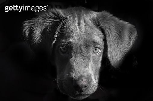Close-Up Portrait Of Dog Against Black Background - gettyimageskorea