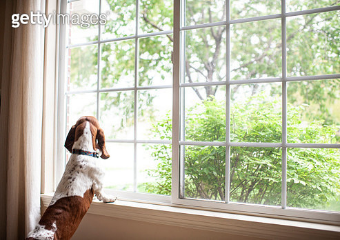 Basset hound dog staring out the window waiting at home - gettyimageskorea