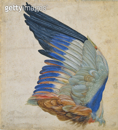 Wing of a Blue Roller/ copy of an original by Albrecht Durer of 1512 (w/c on paper) - gettyimageskorea