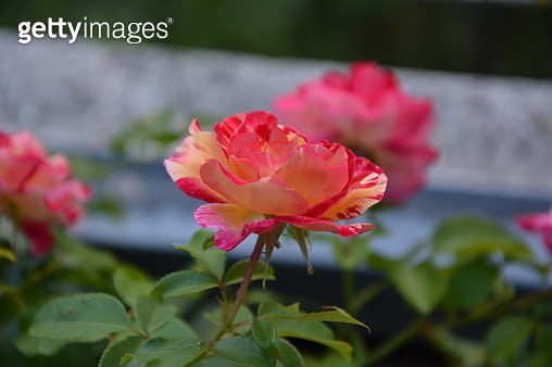 Pink rose with soft background - gettyimageskorea