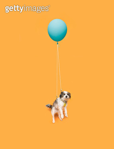 Studio photograph of small, Cute dog floating with a blue balloon, on yellow background. - gettyimageskorea