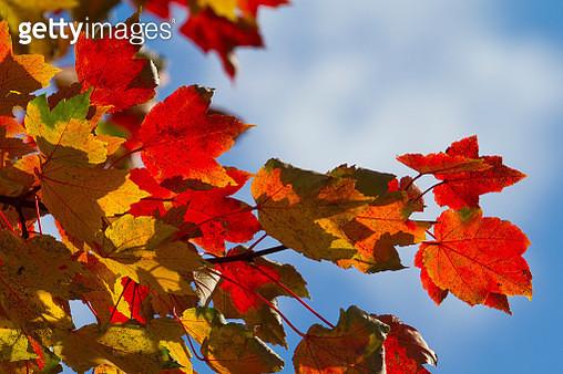 Sunlight Through Fall Colors - gettyimageskorea