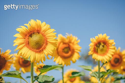 When Is Sunflower Blossom,It So Beautiful - gettyimageskorea