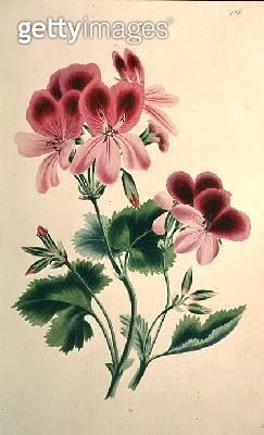 Geranium: Pelargonium varieties from `The Romance of Nature' - gettyimageskorea