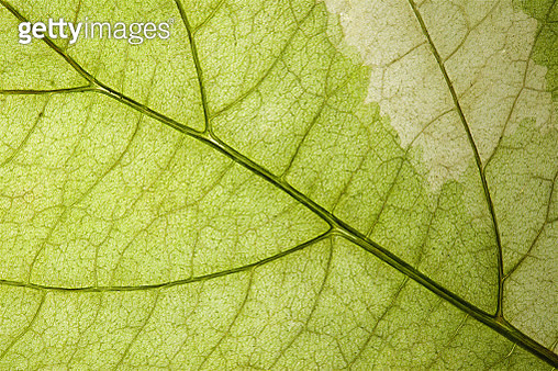 Back Lit Variegated Leaf at High Resolution Showing Extreme Detail - gettyimageskorea