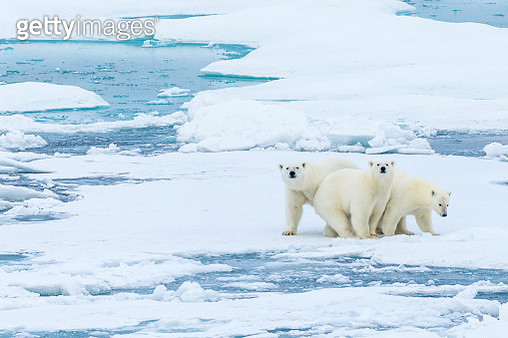 Family portrait, polar bears (Ursus maritimus) standing still on pack ice in the Canadian Arctic. - gettyimageskorea