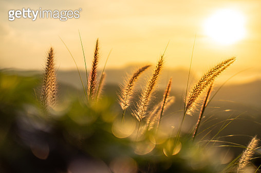 Close-Up Of Stalks In Field Against Sunset Sky - gettyimageskorea