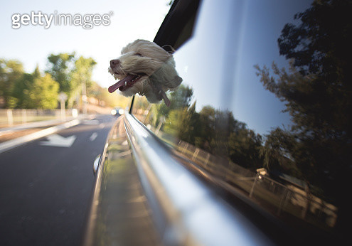 Dog riding in car with head out window - gettyimageskorea