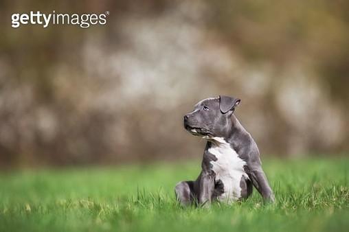 Staffordshire Terrier Puppy sitting in meadow, Austria - gettyimageskorea