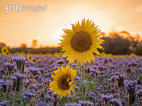 Close-Up Of Sunflower On Field - gettyimageskorea