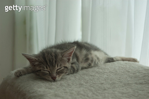 Grey tabby kitten sleeping, stretched out - gettyimageskorea