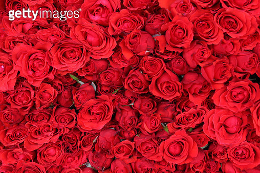 Full Frame Shot Of Red Roses. A Bed Of Roses. - gettyimageskorea