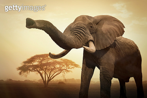A giant female African elephant (Loxodonta africana) at sunset showing trunk as an aggressive signal - gettyimageskorea