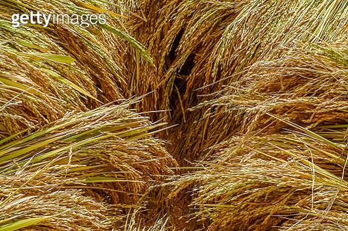 Rice crop in Madagascar - gettyimageskorea