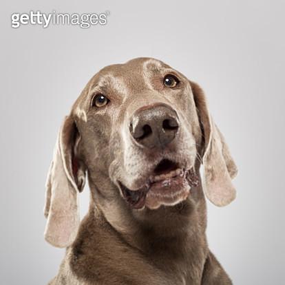 Studio Portrait Of An Expressive Weimaraner Dog Against White Background - gettyimageskorea