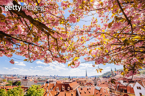 Prague skyline seen through the pink flowering trees, Czech Republic - gettyimageskorea