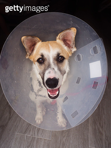 Portrait of a dog wearing an Elizabethan collar after being operated on - gettyimageskorea