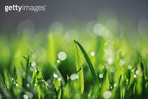 Close-Up Of Wet Grass On Field During Rainy Season - gettyimageskorea