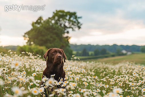 Chocolate Labrador in field of daisies at sunset - gettyimageskorea