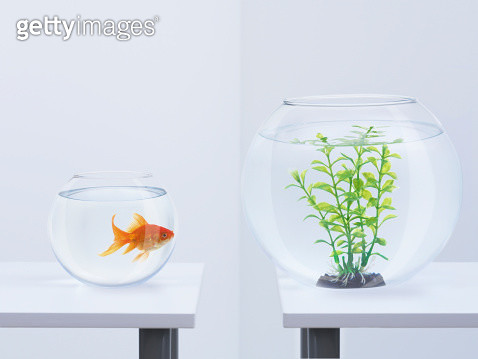 Goldfish in fishbowl looking at plant in opposite fishbowl - gettyimageskorea