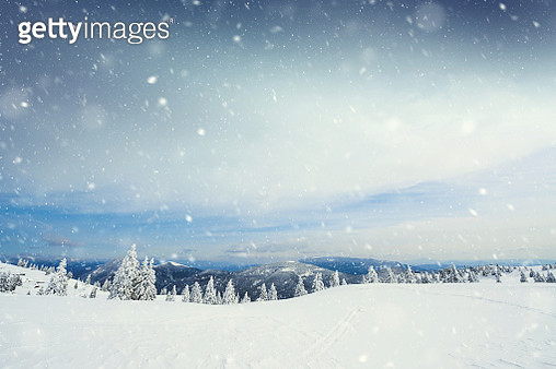 Spruce Tree Forest Covered by Snow in Winter Landscape - gettyimageskorea