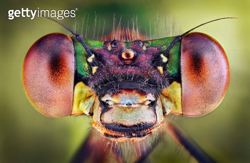 Lestes Viridis Female - Portrait - gettyimageskorea