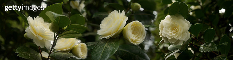 Camellias with Praise - gettyimageskorea