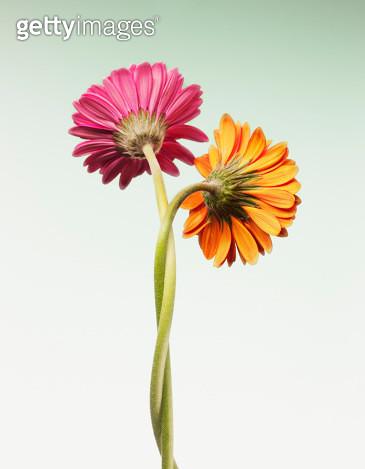 Two gerbera daisies intertwined - gettyimageskorea