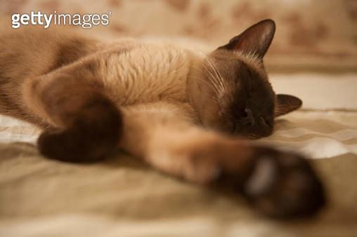 Siamese Cat - gettyimageskorea