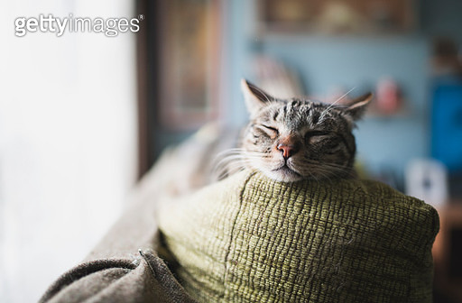 Portrait of tabby cat sleeping on the backrest of a couch - gettyimageskorea