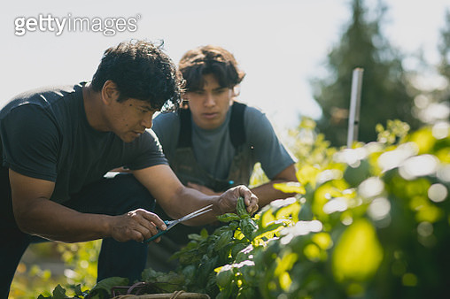 Farmer prunes crops with scissors - gettyimageskorea