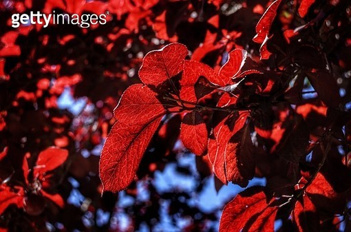 Close-Up Of Red Maple Leaves On Tree - gettyimageskorea