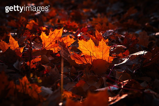 autumn leaves are large in the forest - gettyimageskorea