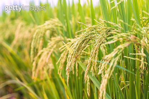 Ear of rice - gettyimageskorea