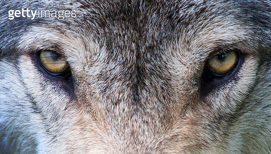 Wolf eyes - gettyimageskorea