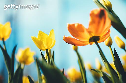 Beautiful yellow and orange tulips from below. - gettyimageskorea