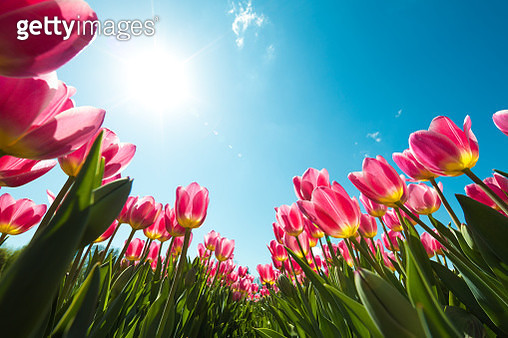 Tulip Field From Below - gettyimageskorea