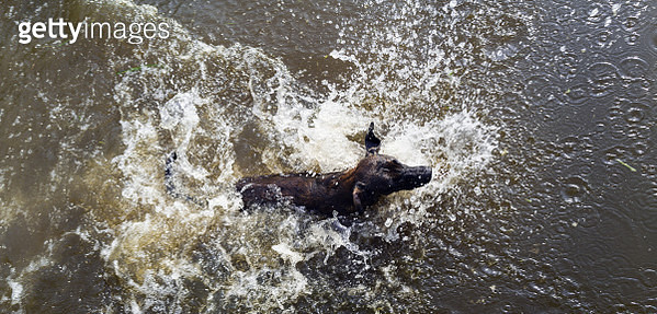 Overhead shot of dog jumping into the lake with water splashing. Dog swimming in lake - gettyimageskorea