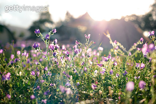 A field of purple flowers in the early morning light with tents in the background - gettyimageskorea