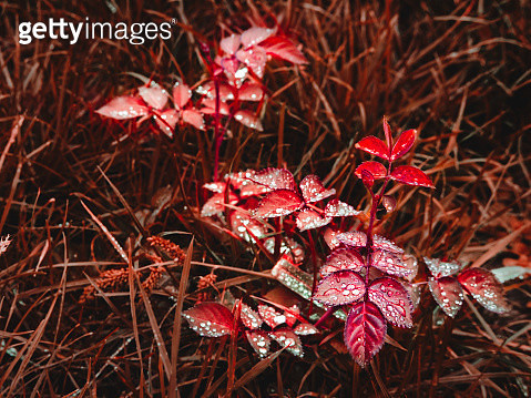 Close-Up Of Red Maple Leaves On Field - gettyimageskorea