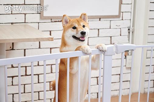 A Chiba dog smiling - gettyimageskorea